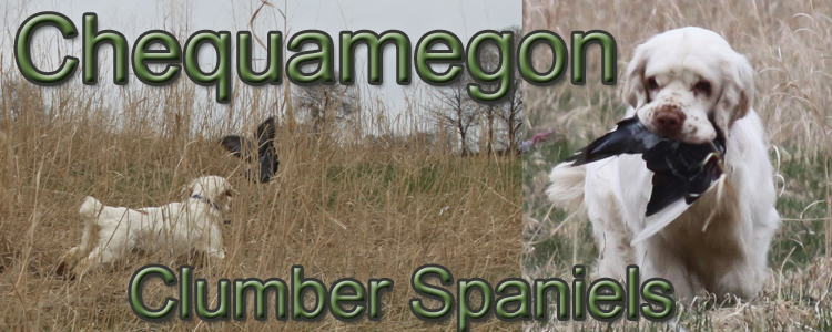 Chequamegon Clumber Spaniels Welcome To Chequamegon